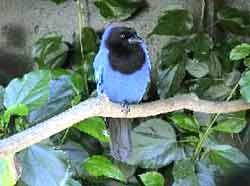 gralha-azul