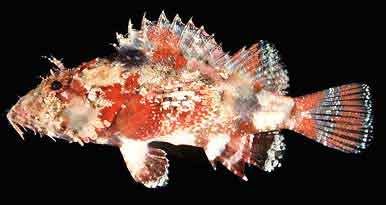 peixe-escorpiao