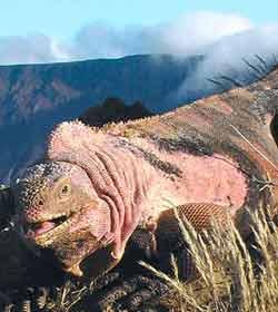 iguana_rosa