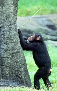 chimpanze_cupim