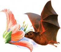 morcego_nectarivoro