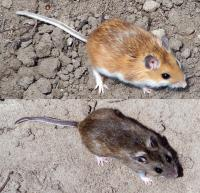 peromyscus_maniculatus